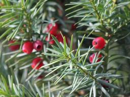 Webinar: Die feinstofflichen Kräfte der Wintergehölze und Weihnachtspflanzen